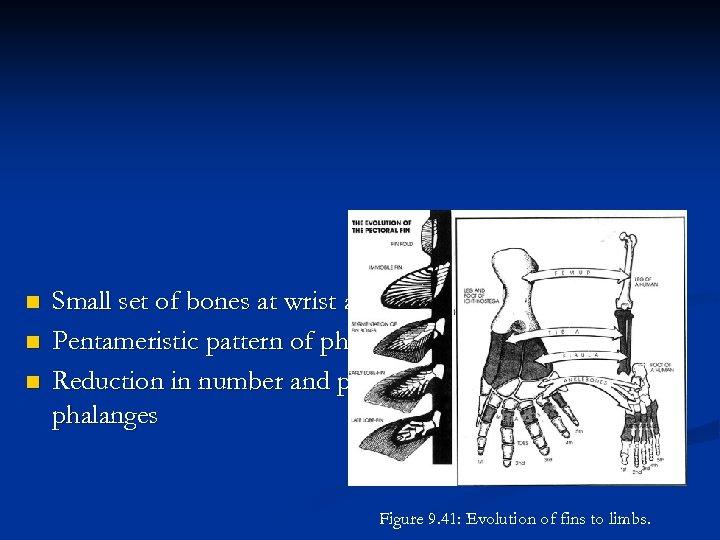 n n n Small set of bones at wrist and ankle Pentameristic pattern of