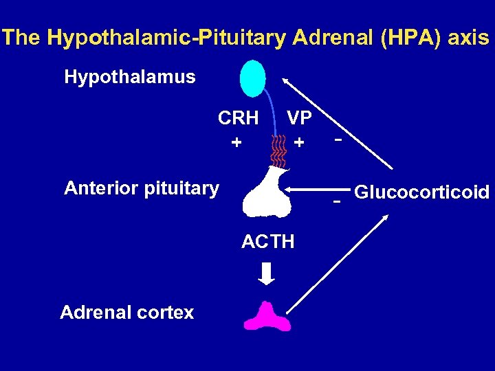 The Hypothalamic-Pituitary Adrenal (HPA) axis Hypothalamus CRH + VP + Anterior pituitary ACTH Adrenal