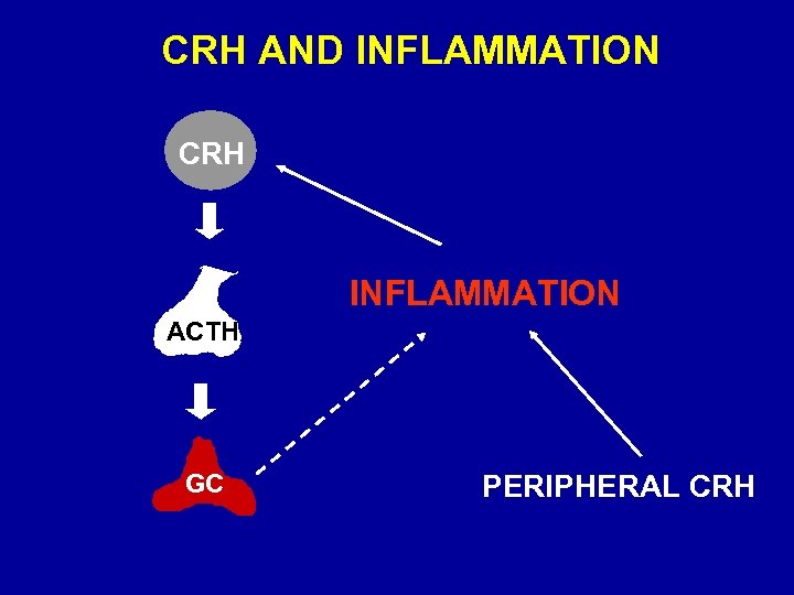 CRH AND INFLAMMATION CRH INFLAMMATION ACTH GC PERIPHERAL CRH