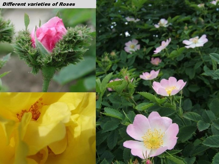 Different varieties of Roses