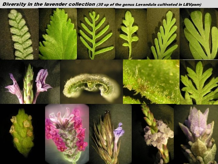 Diversity in the lavender collection (30 sp of the genus Lavandula cultivated in LBVpam)