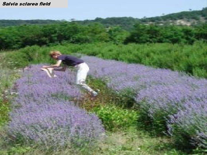 Salvia sclarea field