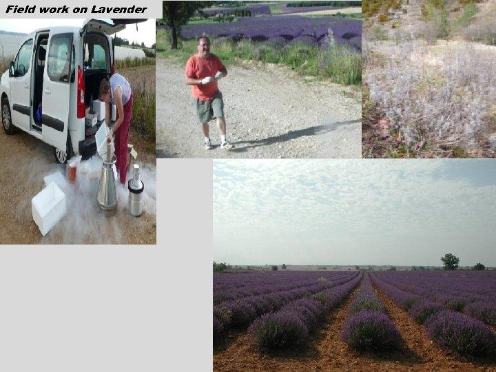 Field work on Lavender