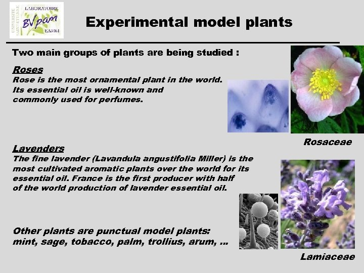 Experimental model plants Two main groups of plants are being studied : Roses Rose