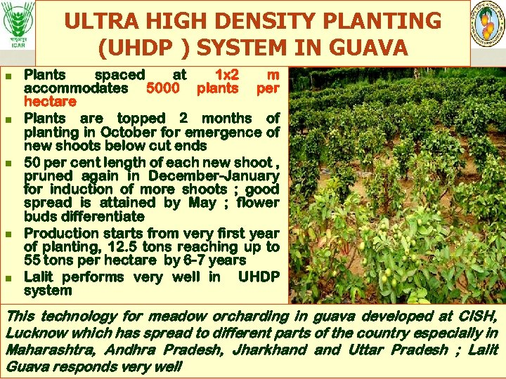 ULTRA HIGH DENSITY PLANTING (UHDP ) SYSTEM IN GUAVA n n n Plants spaced