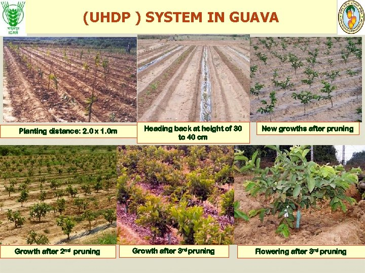 (UHDP ) SYSTEM IN GUAVA Planting distance: 2. 0 x 1. 0 m Growth