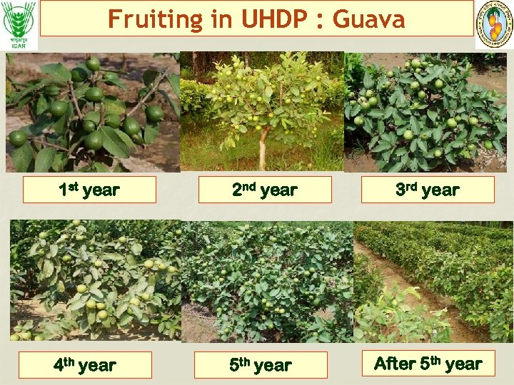 Fruiting in UHDP : Guava 1 st year 2 nd year 3 rd year