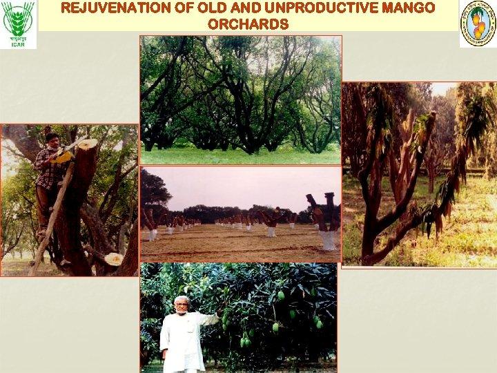 REJUVENATION OF OLD AND UNPRODUCTIVE MANGO ORCHARDS