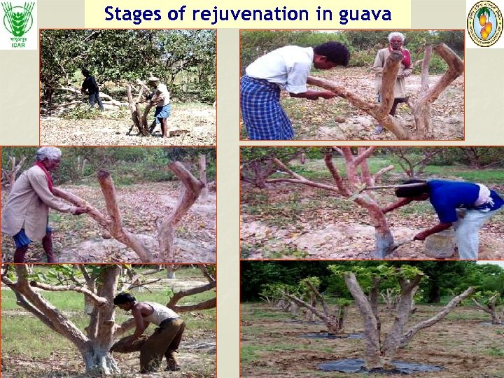 Stages of rejuvenation in guava