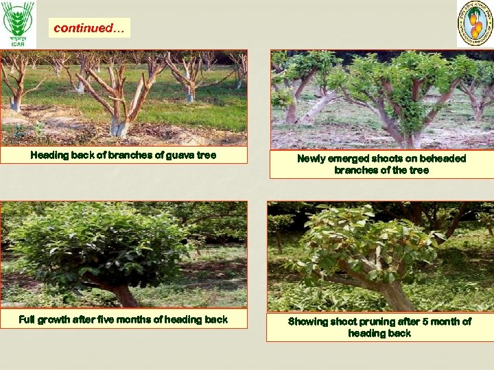 continued… Heading back of branches of guava tree Newly emerged shoots on beheaded branches