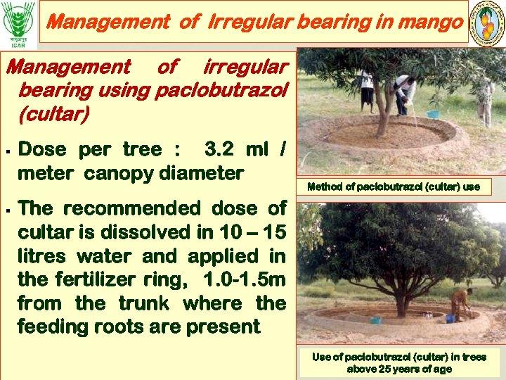 Management of Irregular bearing in mango Management of irregular bearing using paclobutrazol (cultar) §