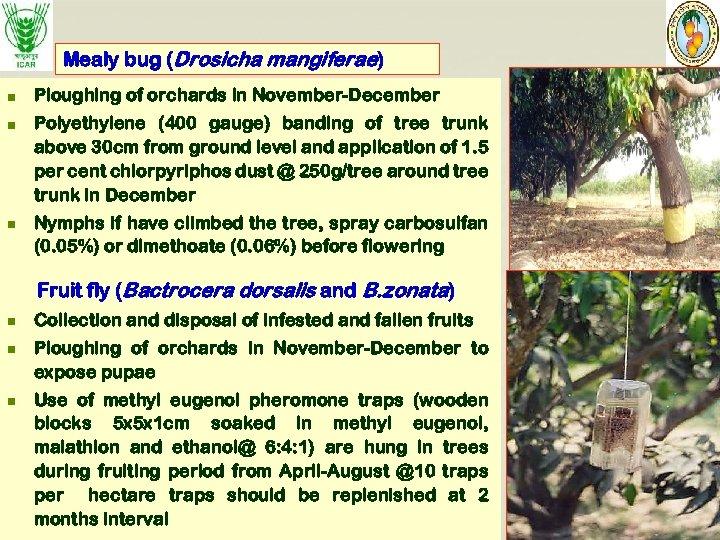 Mealy bug (Drosicha mangiferae) n Ploughing of orchards in November-December n Polyethylene (400 gauge)