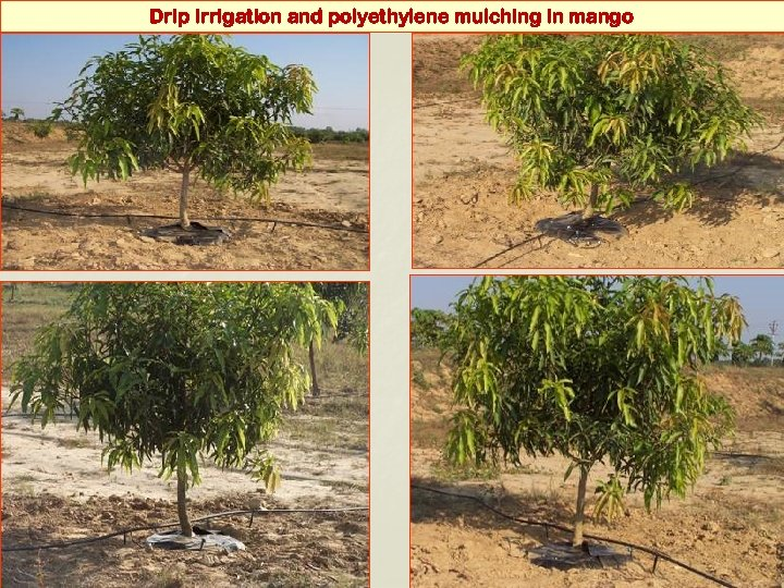 Drip irrigation and polyethylene mulching in mango
