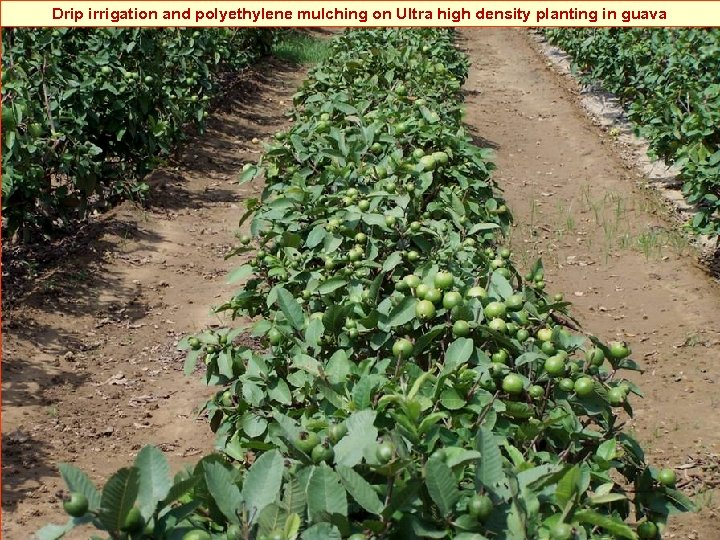Drip irrigation and polyethylene mulching on Ultra high density planting in guava