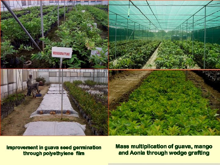 Improvement in guava seed germination through polyethylene film Mass multiplication of guava, mango and