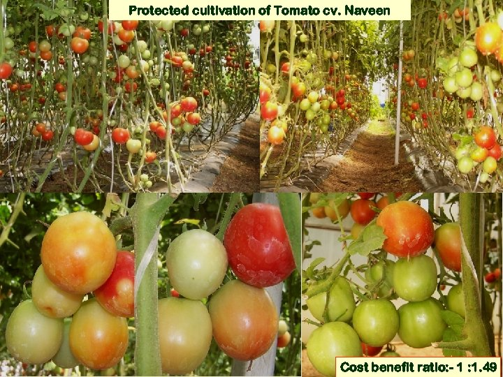 Protected cultivation of Tomato cv. Naveen Cost benefit ratio: - 1 : 1. 49