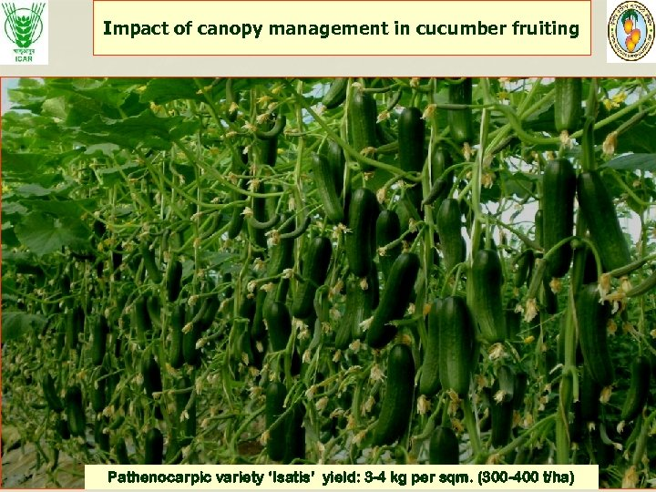 Impact of canopy management in cucumber fruiting Pathenocarpic variety 'Isatis' yield: 3 -4 kg