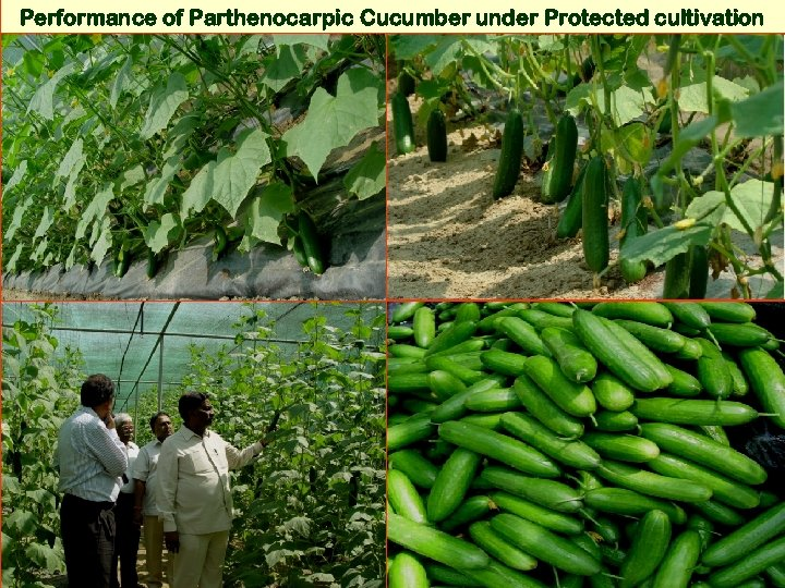 Performance of Parthenocarpic Cucumber under Protected cultivation