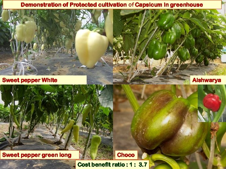 Demonstration of Protected cultivation of Capsicum in greenhouse Sweet pepper White Sweet pepper green