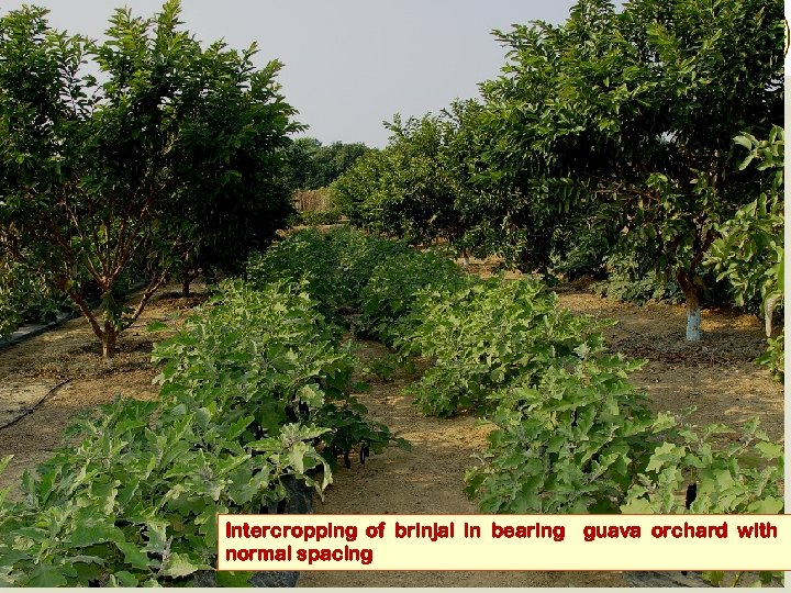 Intercropping of brinjal in bearing guava orchard with normal spacing