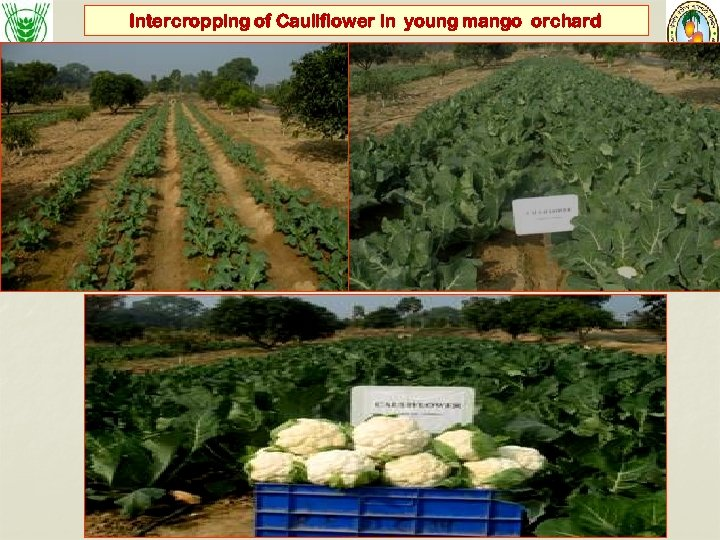 Intercropping of Cauliflower in young mango orchard