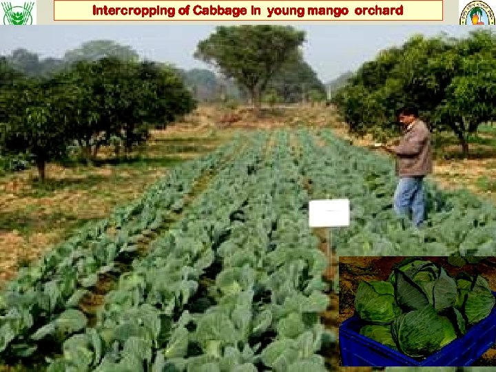 Intercropping of Cabbage in young mango orchard