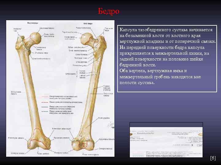 Бедро   Капсула тазобедренного сустава начинается   на безыменной кости от костного