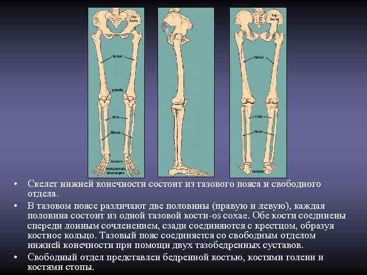 • Скелет нижней конечности состоит из тазового пояса и свободного  отдела.
