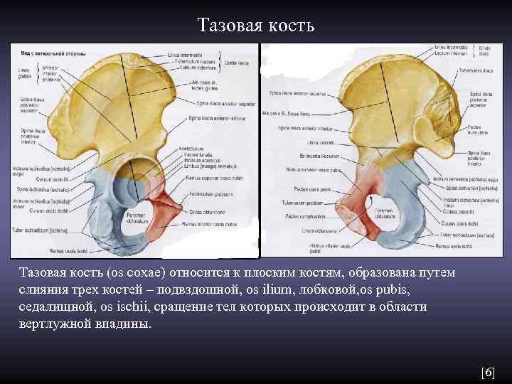 Тазовая кость (os coxae) относится к плоским костям,