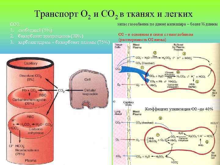 Транспорт О 2 и СО 2 в тканях и легких СО 2: 1. свободный