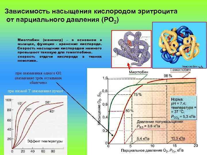 Зависимость насыщения кислородом эритроцита от парциального давления (PO 2) Миоглобин (мономер) – в основном