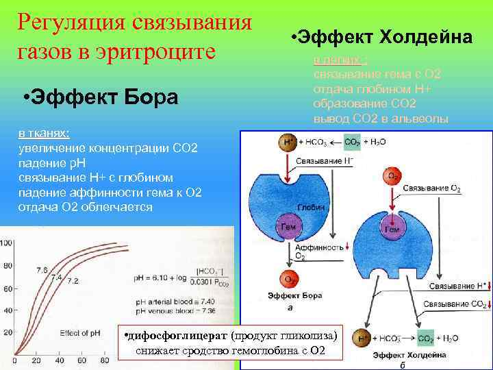 Регуляция связывания газов в эритроците • Эффект Бора • Эффект Холдейна в легких :