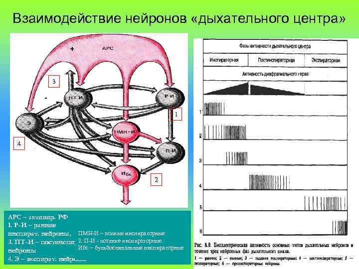 Взаимодействие нейронов «дыхательного центра» + 3 1 4 2 АРС – активир. РФ 1.