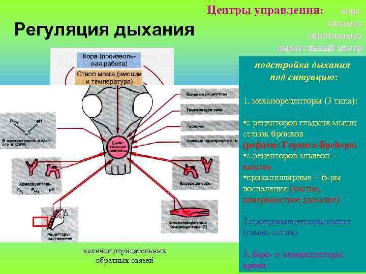 Центры управления: Регуляция дыхания кора таламус гипоталамус дыхательный центр подстройка дыхания под ситуацию: 1.