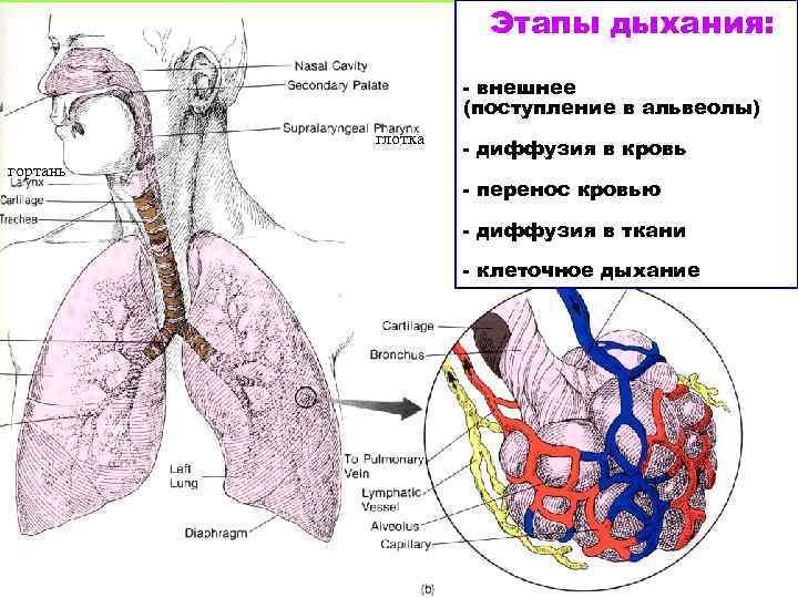 Этапы дыхания: - внешнее (поступление в альвеолы) глотка гортань - диффузия в кровь -