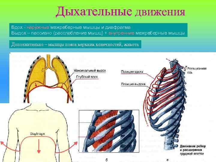Дыхательные движения Вдох - наружные межреберные мышцы и диафрагма Выдох – пассивно (расслабление мышц)