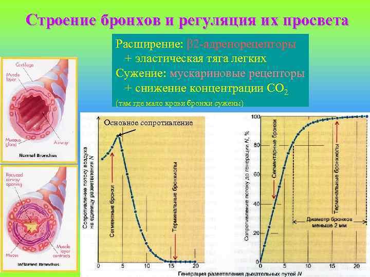 Строение бронхов и регуляция их просвета Расширение: 2 -адренорецепторы + эластическая тяга легких Сужение: