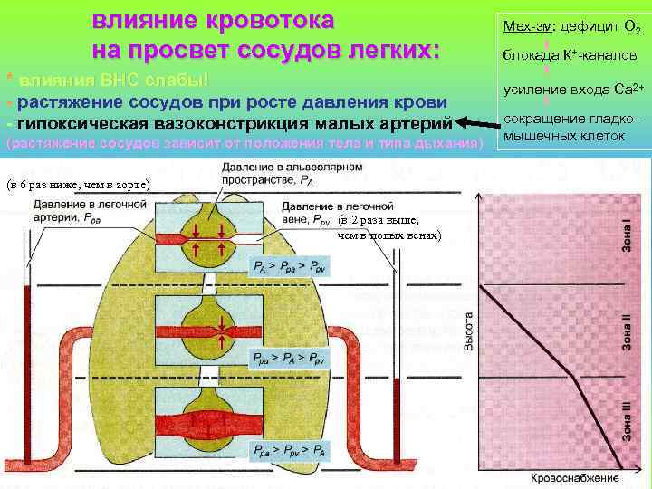 влияние кровотока на просвет сосудов легких: * влияния ВНС слабы! - растяжение сосудов при