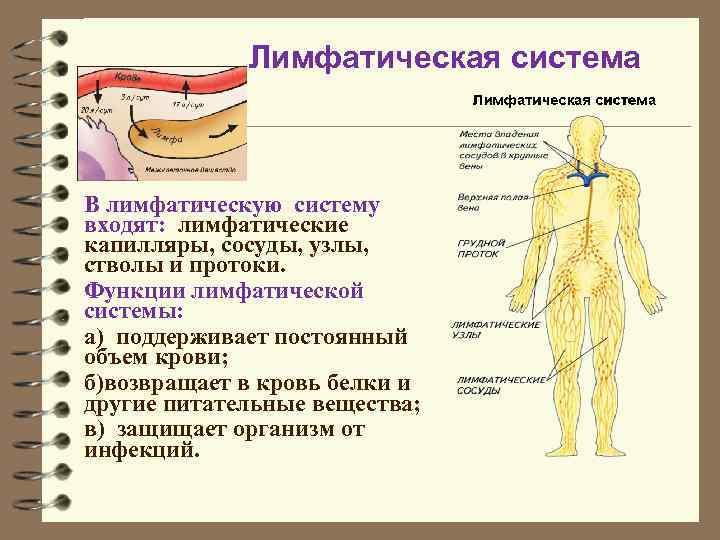 шпаргалка на вопрос анатомия лимфатической системы