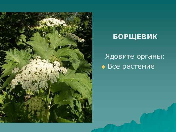 все ядовитые цветы крыма фото с описанием более