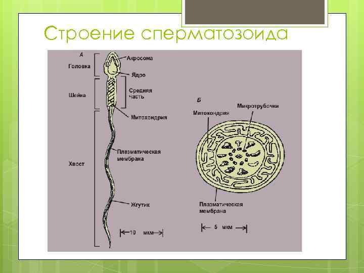 Строения жгутика сперматозоида талантливая