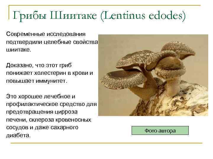 Грибы Шиитаке (Lentinus edodes) Современные исследования подтвердили целебные свойства шиитаке. Доказано, что этот гриб