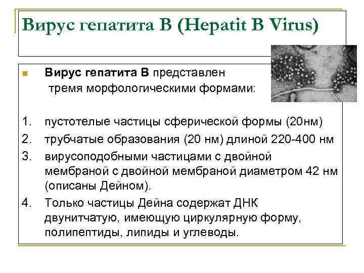 Вирус гепатита В (Hepatit B Virus) n Вирус гепатита В представлен тремя морфологическими формами: