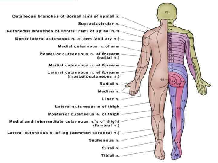 Сегментарный массаж в картинках