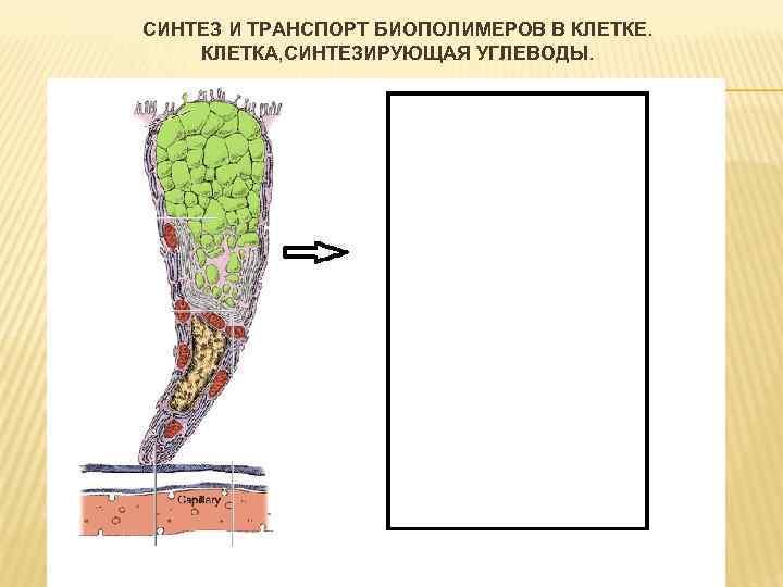 Синтез и транспорт биополимеров в клетке клеточный конвейер при синтезе белка транспортер градусы