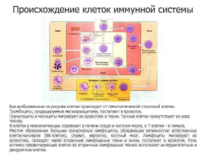 Происхождение клеток иммунной системы Все изображенные на рисунке клетки происходят от гемопоэтической стволовой клетки.