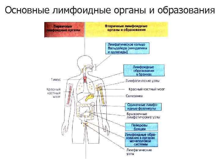 Основные лимфоидные органы и образования