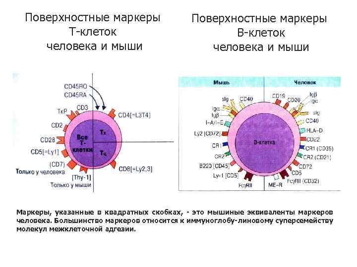 Поверхностные маркеры Т-клеток человека и мыши Поверхностные маркеры В-клеток человека и мыши Маркеры, указанные