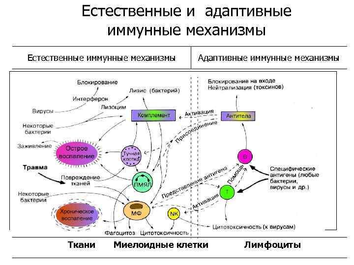 Естественные и адаптивные иммунные механизмы Естественные иммунные механизмы Ткани Адаптивные иммунные механизмы Миелоидные клетки