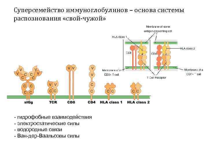 Суперсемейство иммуноглобулинов – основа системы распознования «свой-чужой» - гидрофобные взаимодействия - электростатические силы -